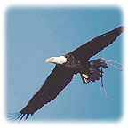 Space Coast Eagle in flight with branch for nest.