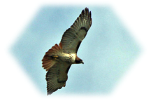 Space Coast Red-Tailed Hawk